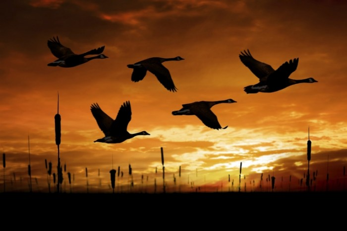 canada geese in flight istock 000010656644large 700x465 Птицы в небе   Birds in the sky
