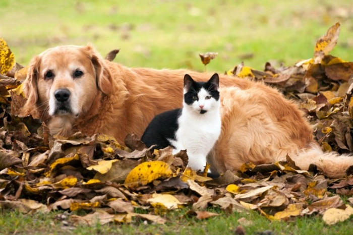 cat and dog and autumn istock 1281x854 700x466 Собака и кот   Dog and cat