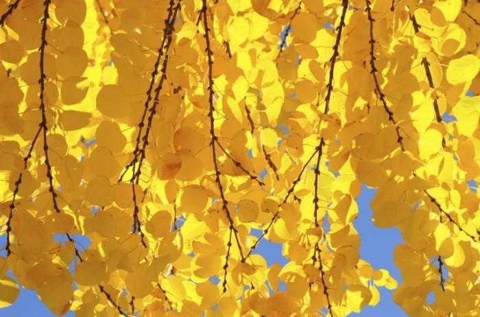 cercidiphyllum japonicum istock 11115897 0 700x463 Желтые листья   Yellow leaves