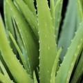 Aлоэ - Aloe