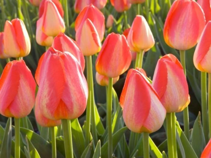 Тюльпаны   Tulips
