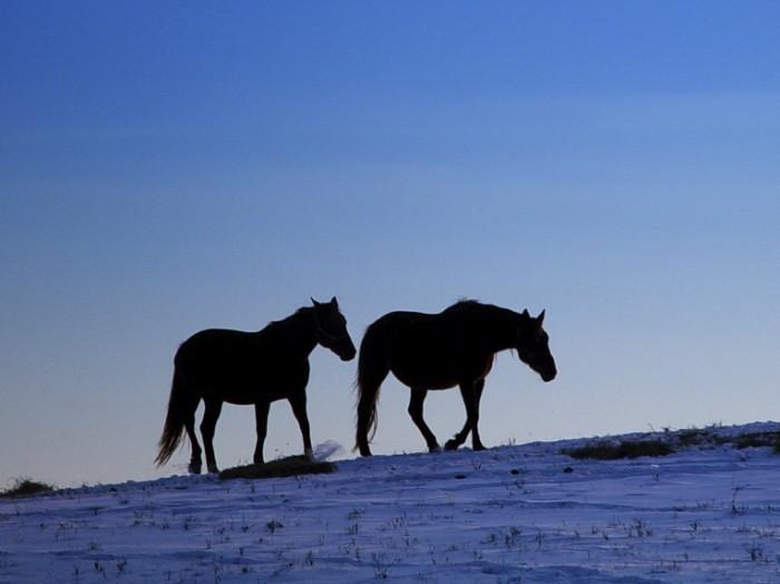 istock snow horses 700x524 Лошади   Horses
