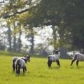 Овечки на лугу - Sheep Meadow