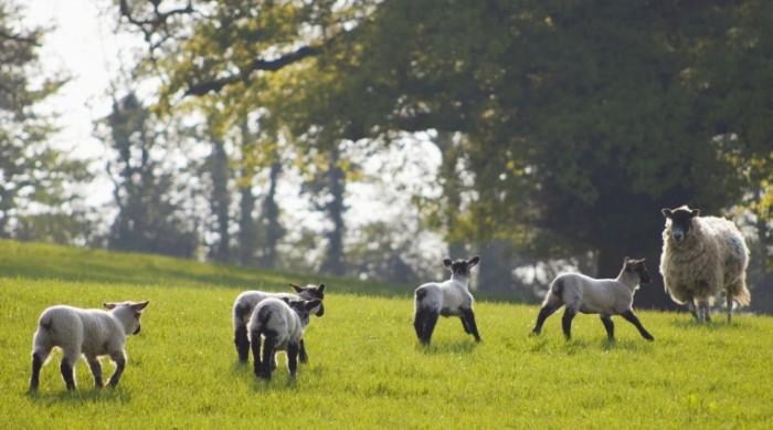 istock 000003395515large 700x389 Овечки на лугу   Sheep Meadow