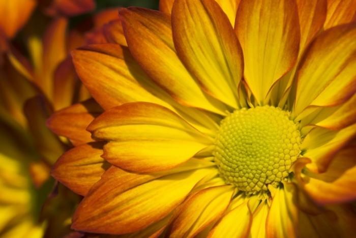 istock 000007264043large crysthanthemum 700x468 Желтый цветок   Yellow flower