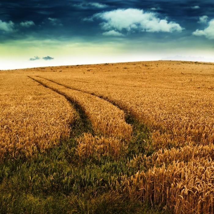 istock 000010285574large 700x700 Поле пшеницы   Field of wheat