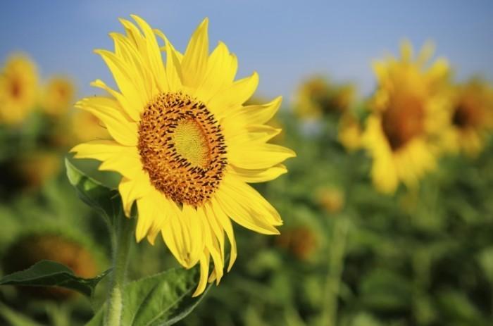 istock 000018559419large 700x463 Подсолнухи   Sunflowers