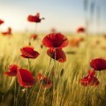 Маковое поле - Poppy field