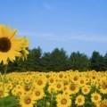 Поле с подсолнухами - Field of sunflowers