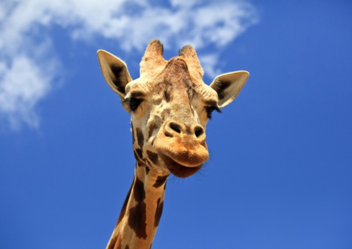 170176446 700x496 Жираф   Giraffe