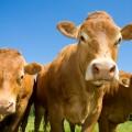Коровы - Cows