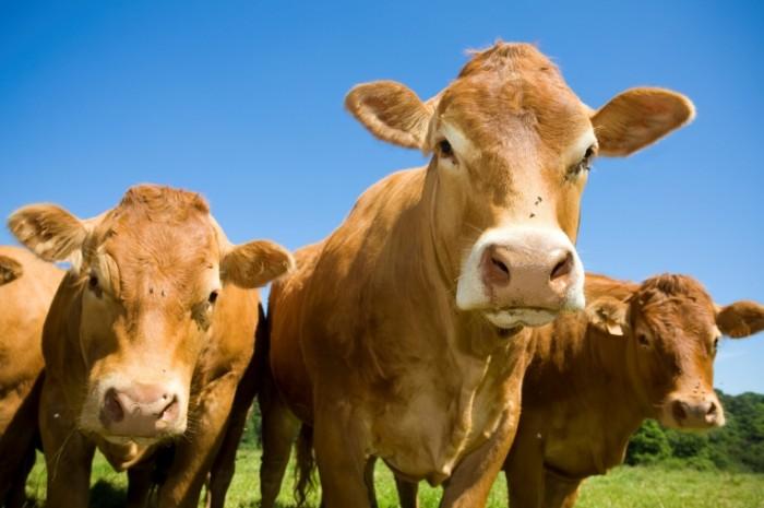 CowsPosing 700x465 Коровы   Cows