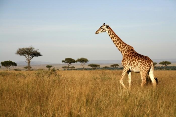 istock GIRAF 700x466 Жираф   Giraffe
