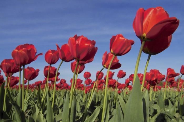 red tulips istock 700x465 Тюльпаны в поле   Tulips in a field