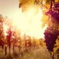 Ветки винограда - Branches of grapes