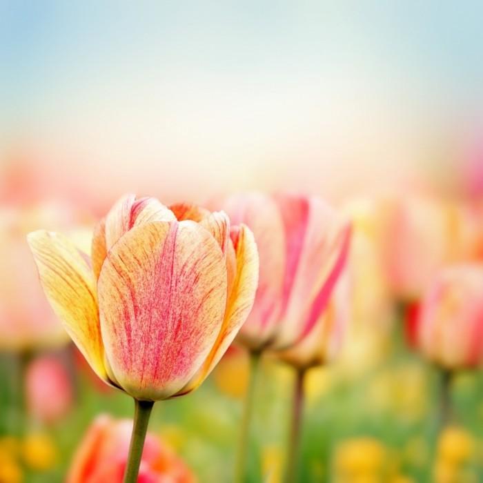 Dollarphotoclub 61798468 700x700 Тюльпаны   Tulips