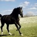 Черная лошадь - Black Horse