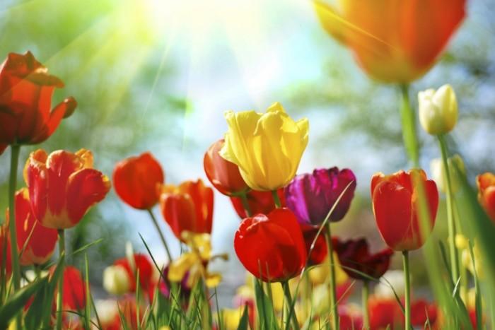 istock 000008664639medium 700x467 Тюльпаны   Tulips