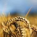 Колосья пшеницы - Ears of wheat