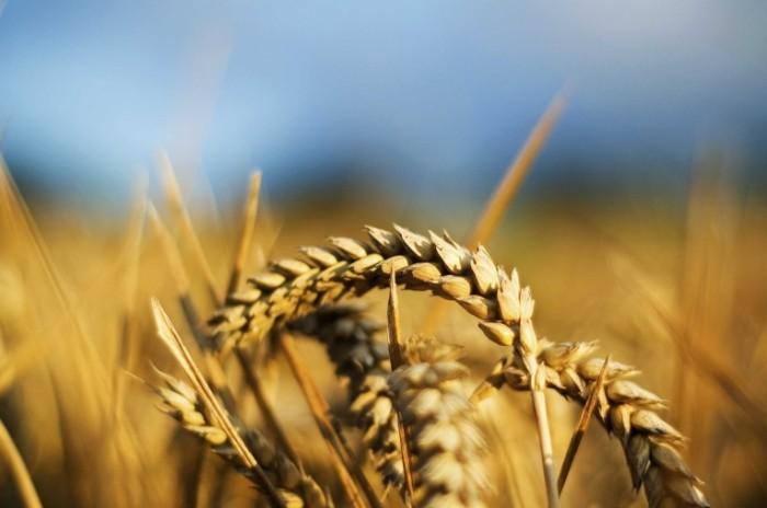 istock wheat 700x464 Колосья пшеницы   Ears of wheat