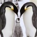 Пингвины - Penguins