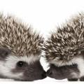 Ежики - Hedgehogs