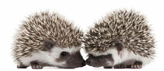 Dollarphotoclub 27338312 700x303 Ежики   Hedgehogs