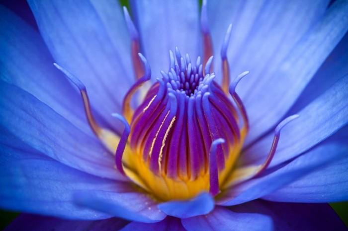 Dollarphotoclub 60699100 700x466 Синий цветок   Blue flower