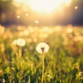 Одуванчик в поле - Dandelion in the field