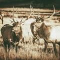 Олени - Deer