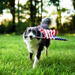 Собака с флагом Америки - Dog with American flag