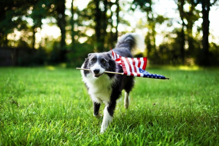 Dollarphotoclub 84977202 700x466 Собака с флагом Америки   Dog with American flag