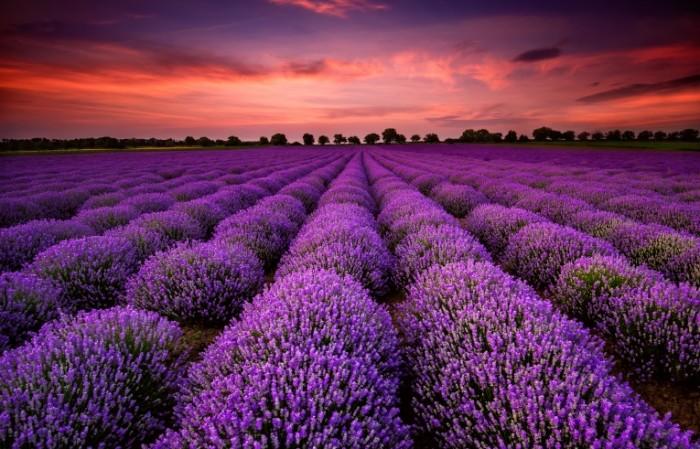 dollarphotoclub 64900250 700x449 Лавандовое поле   Lavender field