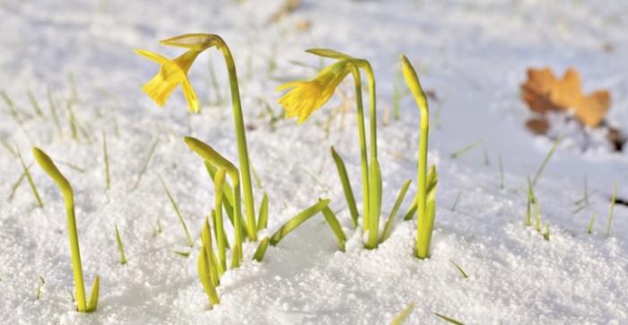 shutterstock 132187463 700x362 Нарциссы в снегу   Daffodils in the snow