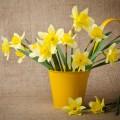 Нарциссы - Daffodils