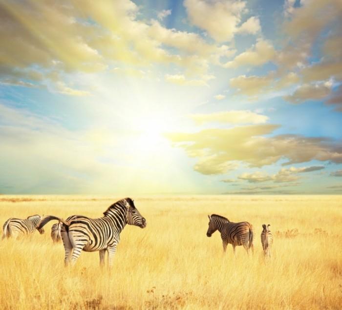 shutterstock 52460719 700x635 Зебры   Zebras