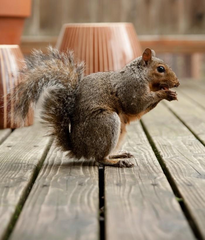 shutterstock 62725015 700x821 Белка   Squirrel