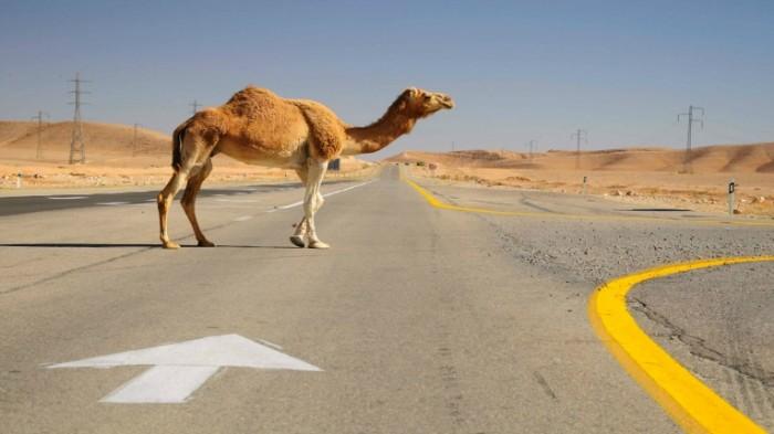 shutterstock 75867142 700x393 Верблюд на дороге   Camel on the road