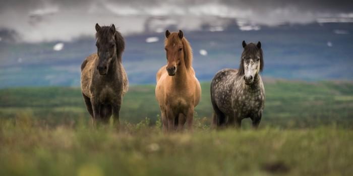 2500x1250 icelandichorse shutterstock 203381632  chalermkiat seedokmai shutterstock2500x1250 700x349 Лошади   Horses