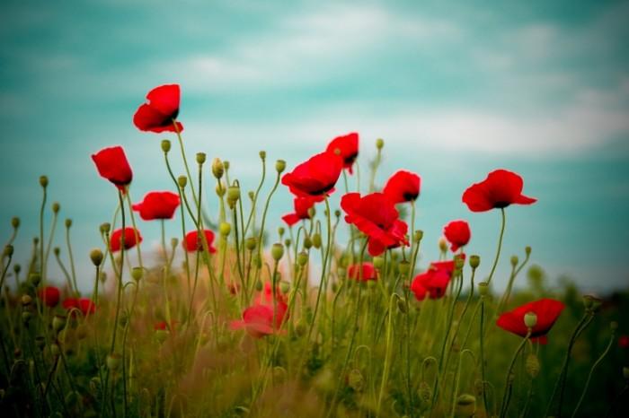 poppies field sky nature summer hd wallpaper 22290 700x466 Мак   Poppy