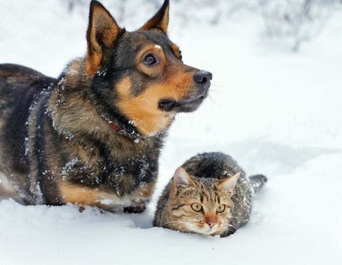 shutterstock 124435603 700x543 Волк и кошка   Wolf and the cat