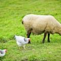 Овечка и курицы - Lamb and chicken