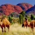 Верблюд - Camel