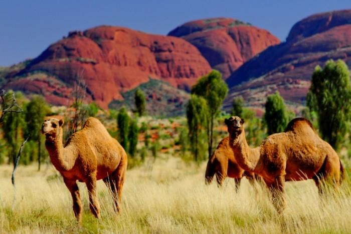 shutterstock 165912152 700x467 Верблюд   Camel