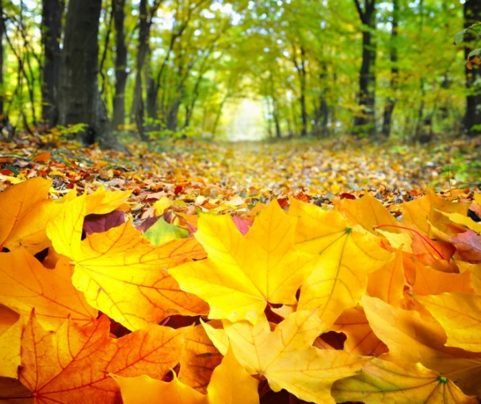 shutterstock 219493975 700x589 Желтые листья   Yellow leaves