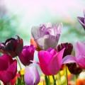 Сиреневые тюльпаны - Purple tulips