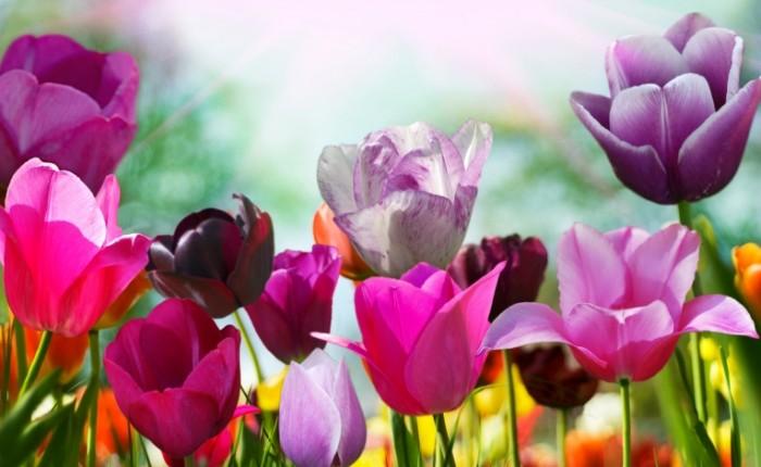 shutterstock 45238654 700x430 Сиреневые тюльпаны   Purple tulips