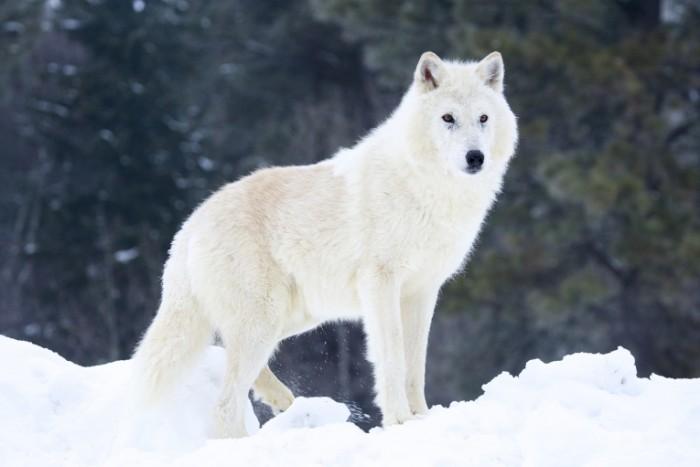 shutterstock 71285410 700x467 Волк   Wolf