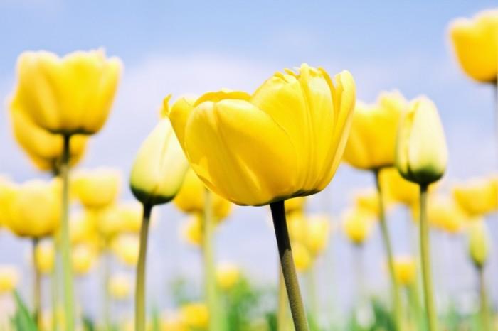 shutterstock 77522287 700x466 Желтые тюльпаны   Yellow tulips