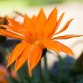 Оранжевый цветок - Orange flower